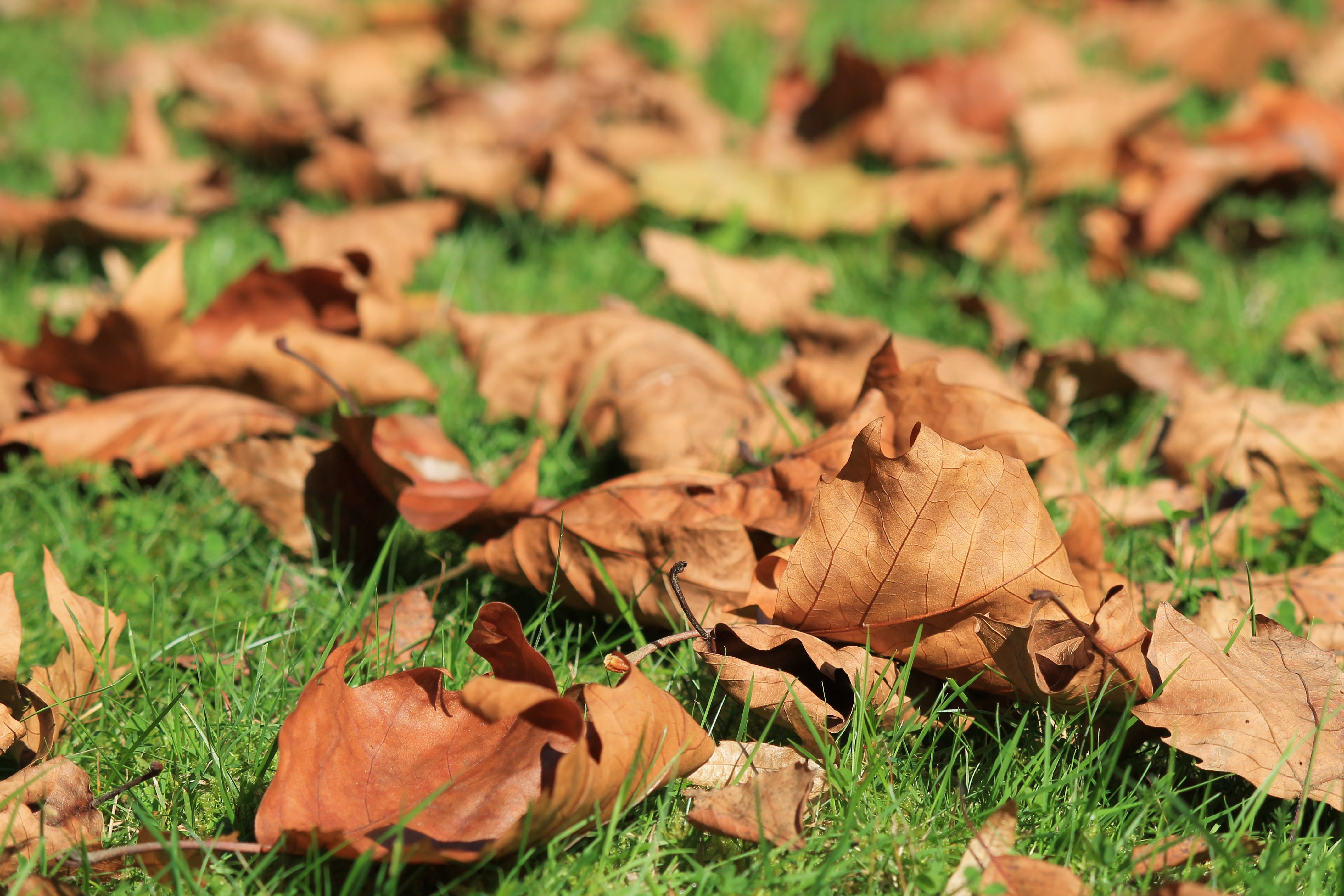 Brown Leafs on Green Grass