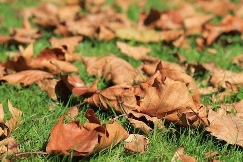 天性, 枯葉, 草 的 免費圖庫相片
