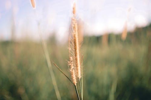 Brown Wheat in Tilt Shift Lens