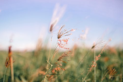 Dry cereal grass in field