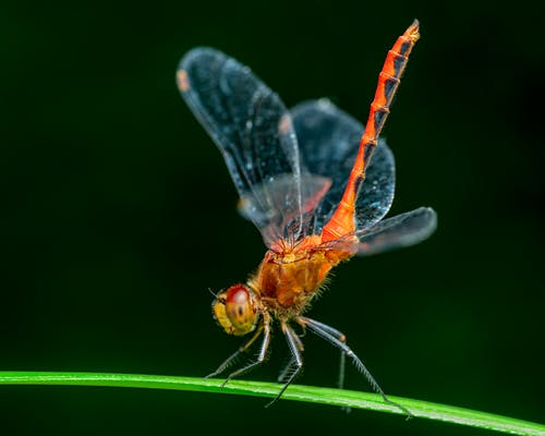 Closeup of orange dragonfly with vibrant abdomen sitting on tiny blade of green grass