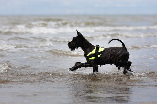Black Short Coat Medium Dog Running on Water