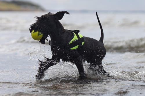 Black and White Dog Wearing Yellow and Black Batman Costume on Water