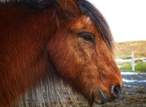 Free stock photo of horse, iceland, pony