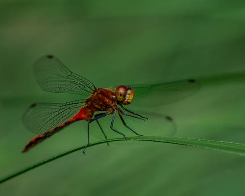 Closeup of red delicate dragonfly sitting on tiny blade of green grass in nature