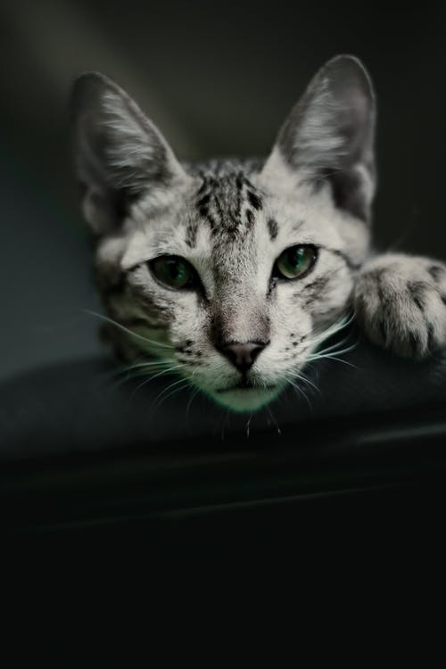 Photo of a Cute Gray Tabby Cat