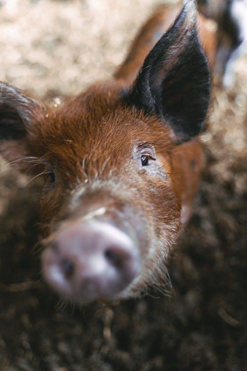 Immagine gratuita di agricoltura, animale, azienda agricola, cappellone