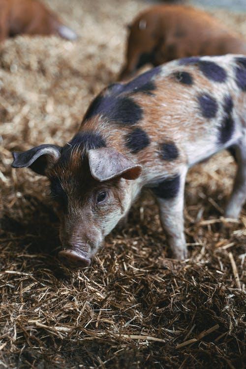 Immagine gratuita di agricoltura, alla ricerca, animale, azienda agricola