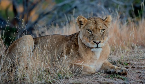 Brown Lioness on Brown Grass