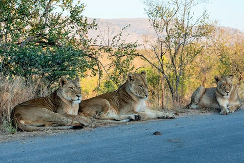 Three Lionesses Lying Near the Road