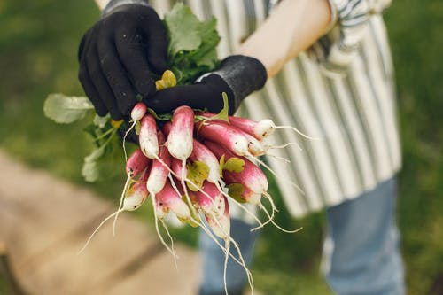 Person Holding Bunch Of Radish