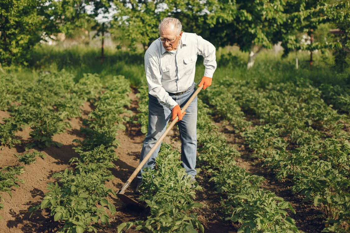 Elderly Man Cultivating The Soil With A Hoe