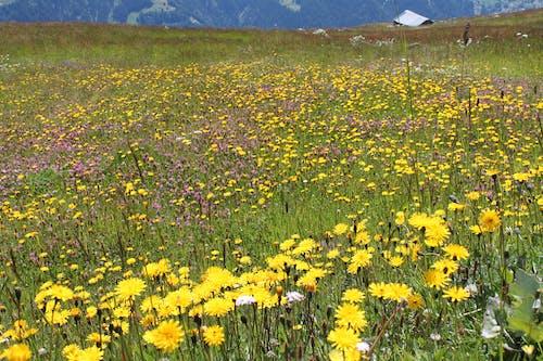 Ảnh lưu trữ miễn phí về alps, cánh đồng, đồng cỏ, hoa