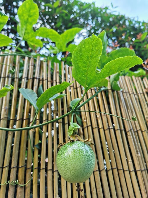 Free stock photo of fruits, lorong sesuai, passiflora edulis