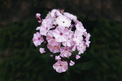 Beautiful Garden Phlox Flowers in Bloom