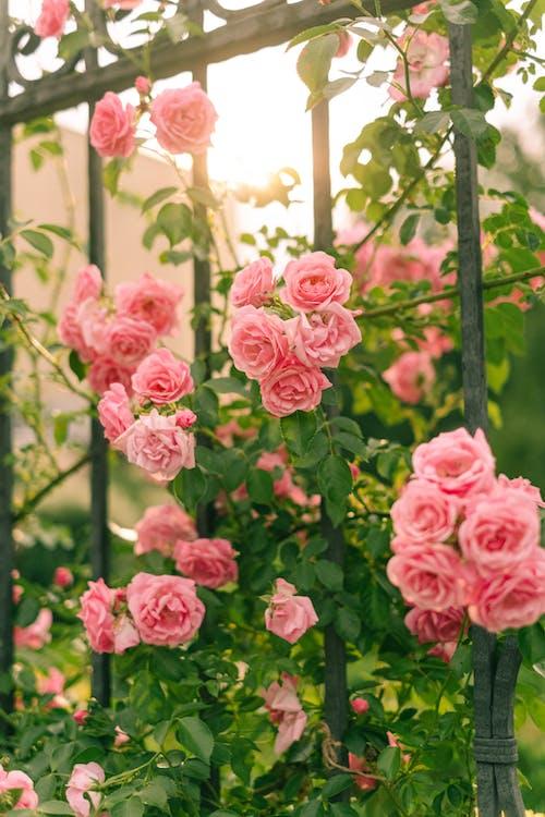 Elegant Roses in Bloom