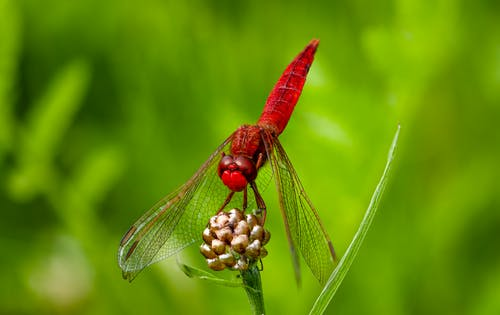 Red and Brown Dragonfly Perched on Brown Flower Bud in Close Up Photography