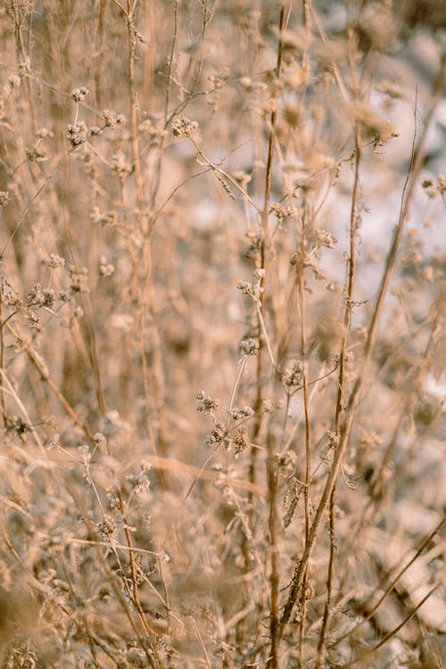 Dry grass with long fragile stems