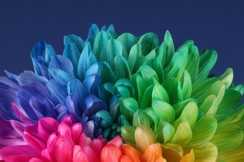 Gratis lagerfoto af blomstrende blomst, krysantemum, rainbow magnum chrysanthemum, regnbuens farver