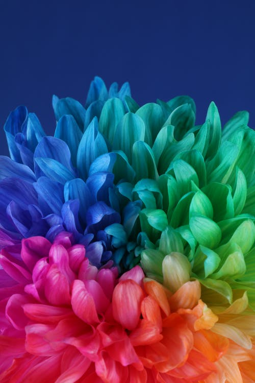 レインボーマグナム菊, 咲く花, 虹色の無料の写真素材