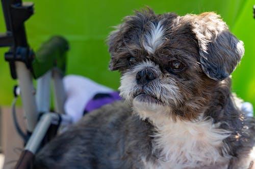 Безкоштовне стокове фото на тему «маленька собака, милий, собака, тварина»