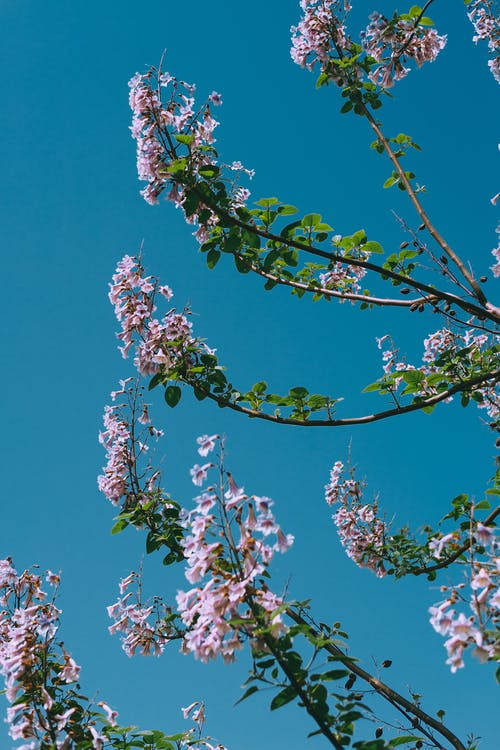 Blossoming tree against clear blue sky