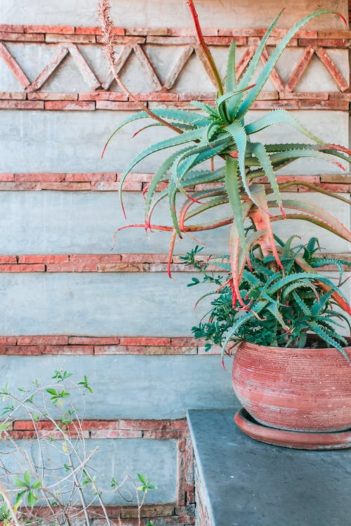 Green plant with small spikes growing in pot on stone border near cement wall decorated with red bricks