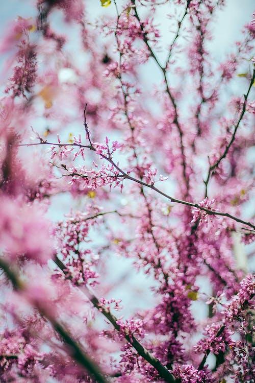 Blooming Sakura tree in summer garden