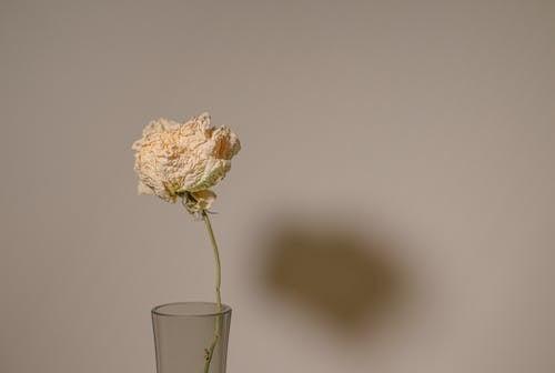 Бесплатное стоковое фото с бутон, ваза, лепесток