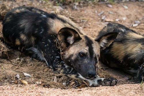 Gratis lagerfoto af afrikanske dyreliv, Hyænehund, Safari