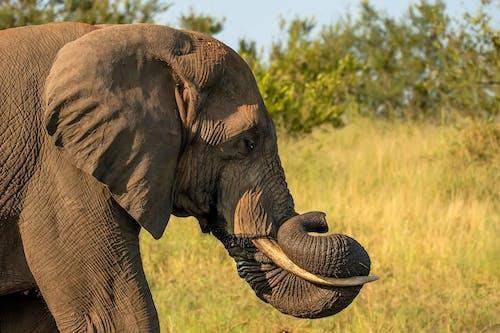 Gratis lagerfoto af afrikansk elefan, Safari