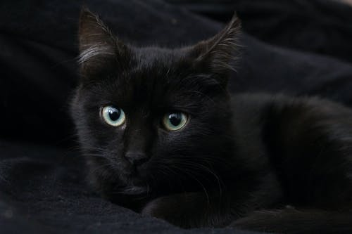 Free stock photo of beautiful, beautiful eyes, black, black cat