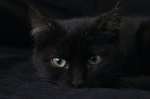 Free stock photo of beautiful eyes, beauty, black cat, black kitten