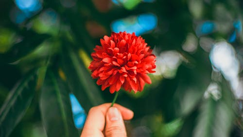 Red Flower in Persons Hand