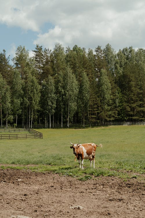 Brown and White Cow on Green Grass Field Near Green Trees