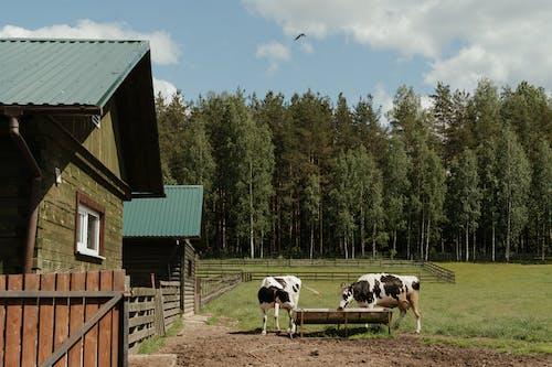 Foto stok gratis agrikultura, banteng, bidang, binatang