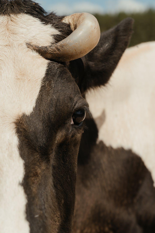 bovine up close
