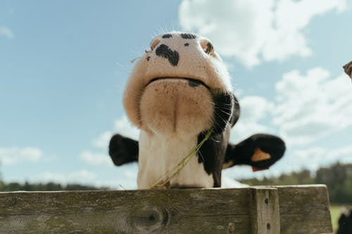 Black and White Cow on Brown Wooden Fence
