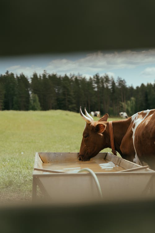 Brown Cow Lying on Green Grass Field