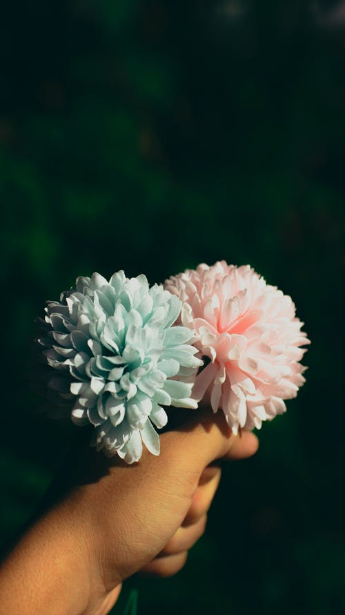 Person Holding Blue and Pink Flower