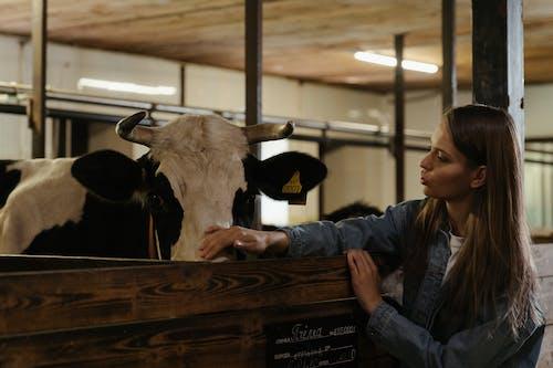 Darmowe zdjęcie z galerii z bydło, byk, dziewczyna