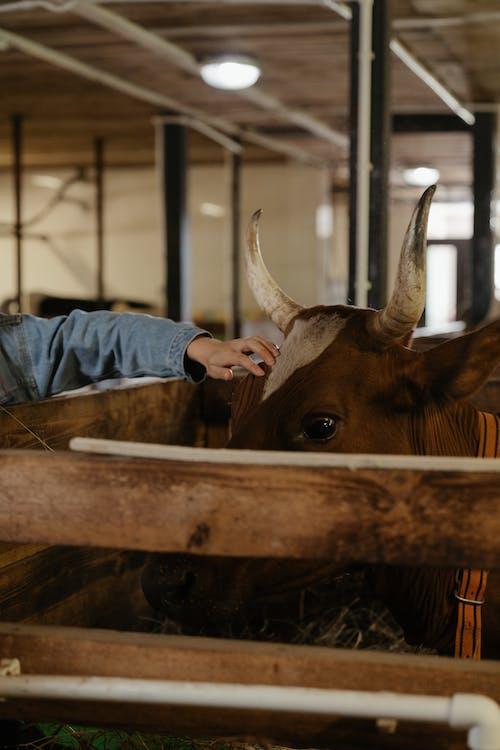 Darmowe zdjęcie z galerii z bydło, byk, dotykać