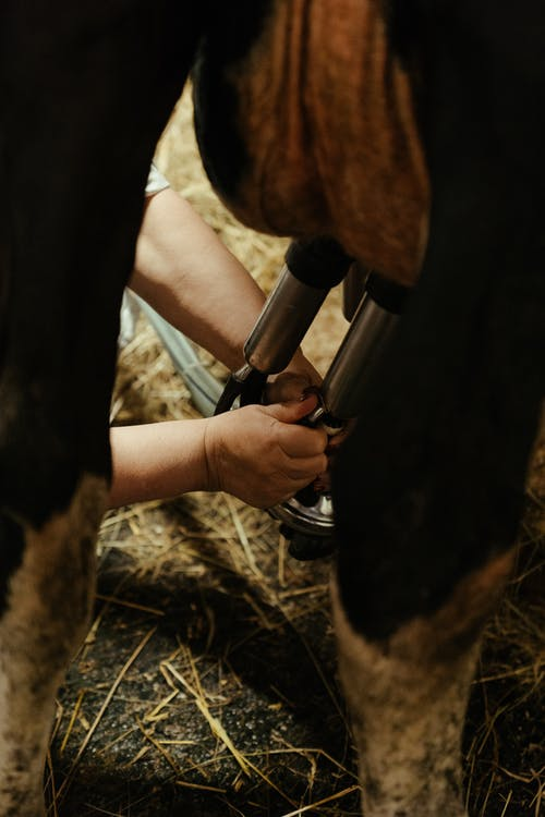 Δωρεάν στοκ φωτογραφιών με cowbarn, αγελάδα, αγέλη