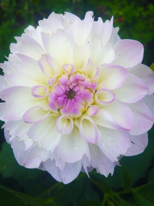 Free stock photo of beautiful flower, flower, georgina