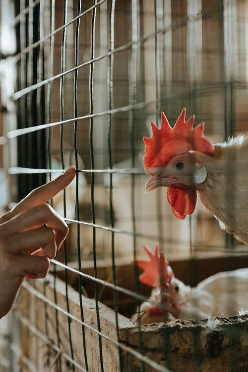 White and Red Rooster in Cage
