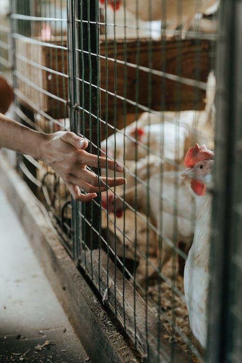 White Chicken in Black Cage