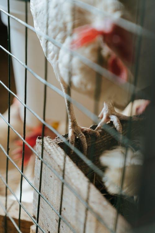 Бесплатное стоковое фото с домашняя птица, курица, курятник