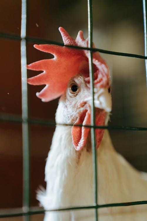 White Chicken in Cage