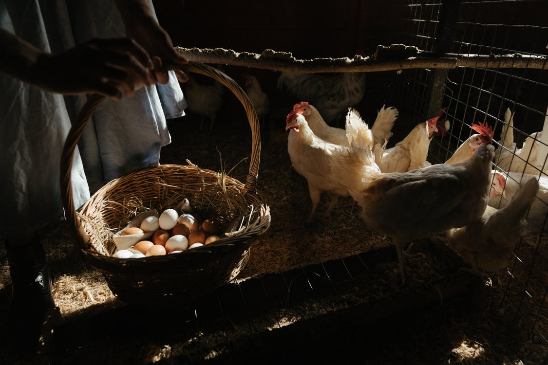White Chicken on Brown Woven Basket