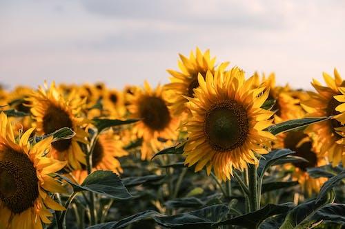 Sunflower Field Under White Clouds